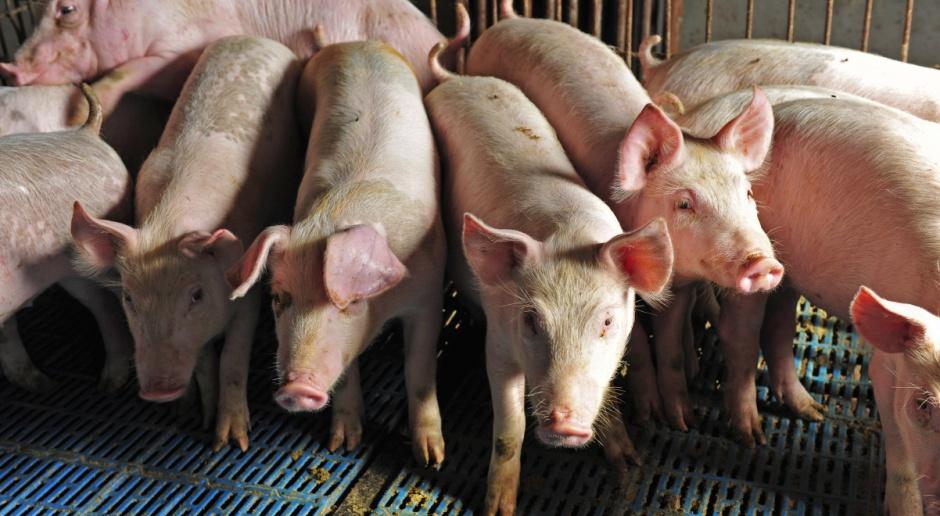 UE: Zrównoważony rynek żywca rzeźnego świń