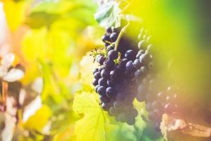 Francuskie winobranie 2016: Mniej wina, ale dobre