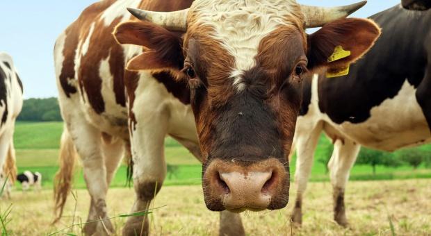 PZPBM rusza z serią szkoleń dla producentów żywca wołowego