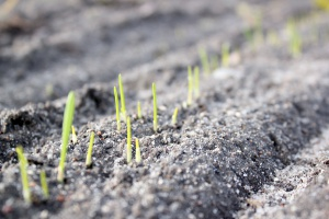 Nierównomierne wschody zbóż