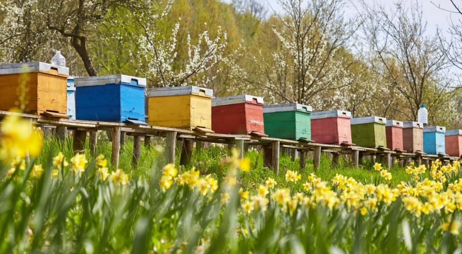 Podkarpackie: Słaby sezon pszczelarzy; tylko 13 kg miodu z ula