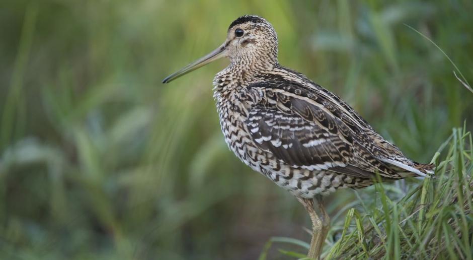 Podlaskie: Kończy się projekt ochrony rzadkich ptaków - dubeltów