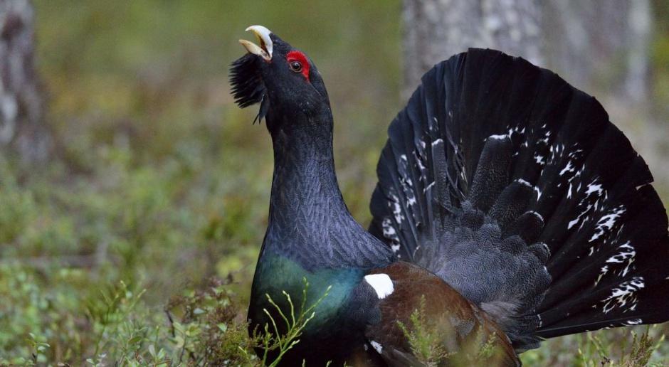 Głuszce z Rosji zasilą populację tych ptaków w Puszczy Augustowskiej