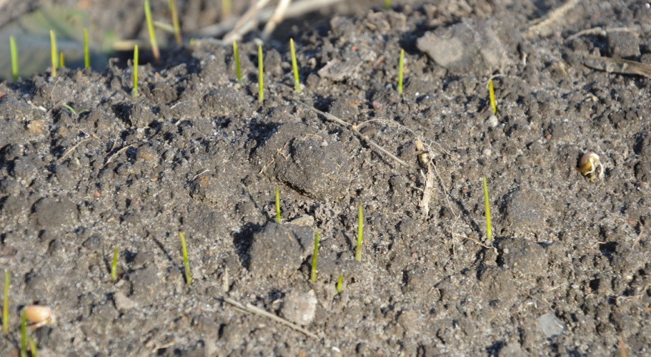 Zwalczanie chwastów w pszenicy bezpośrednio po siewie, od fazy szpilkowania