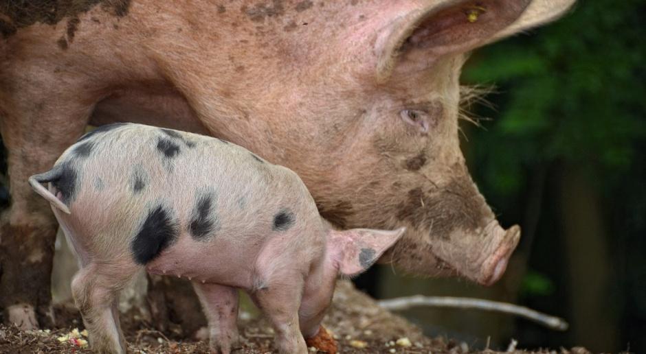 Polska zabiega o wparcie z UE w związku z afrykańskim pomorem świń