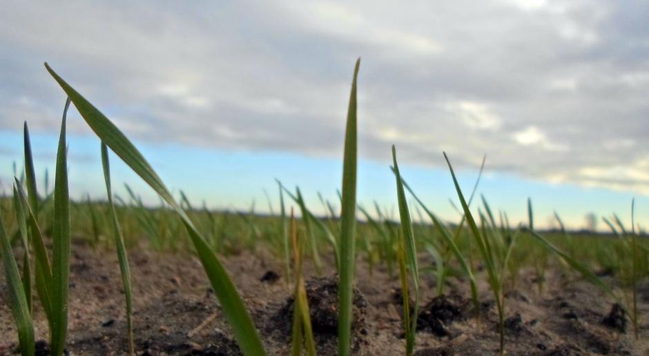 Opóźniony siew pszenicy – o czym należy pamiętać