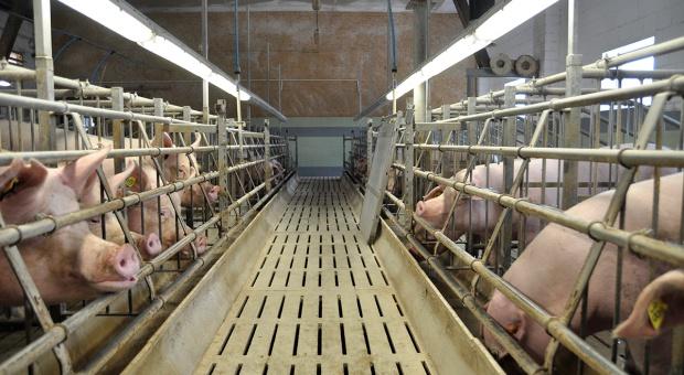 Wpływ światła i temperatury na parametry rozrodu świń