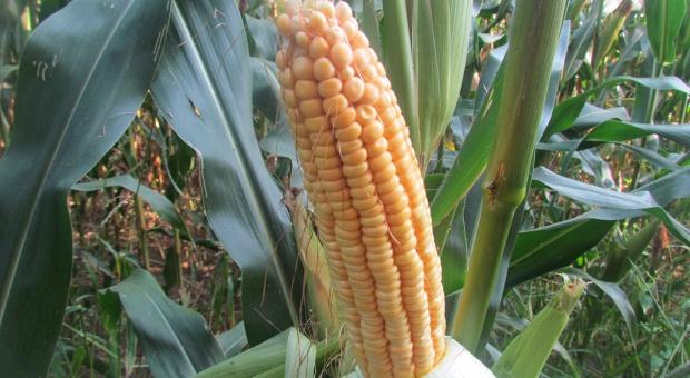 Czas na kukurydzę w żywieniu świń