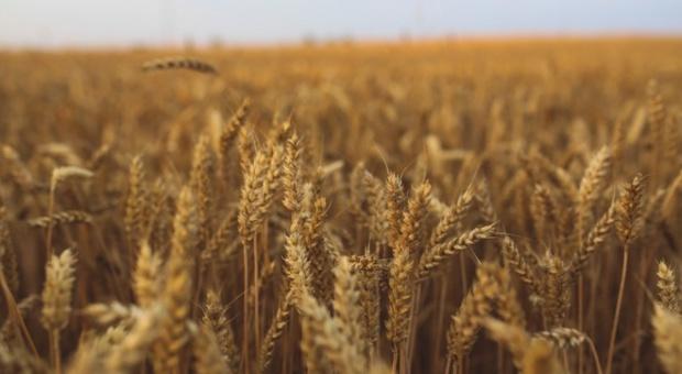 USDA: Spadek szacunków światowej produkcji pszenicy i zbóż paszowych