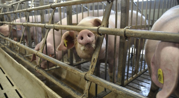 KZP-TCh: Nowe przepisy identyfikacji zwierząt budzą wątpliwości