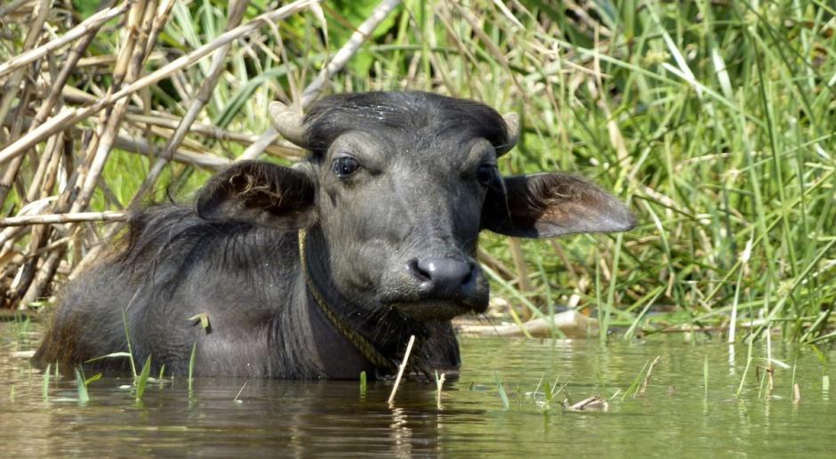 Indie największym producentem mleka i wołowiny