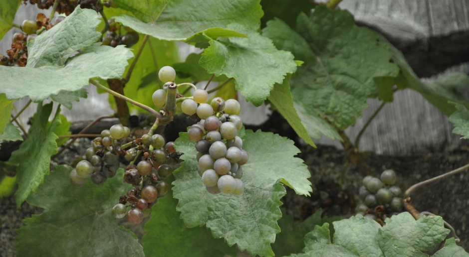 Dobre perspektywy dla polskich winiarzy