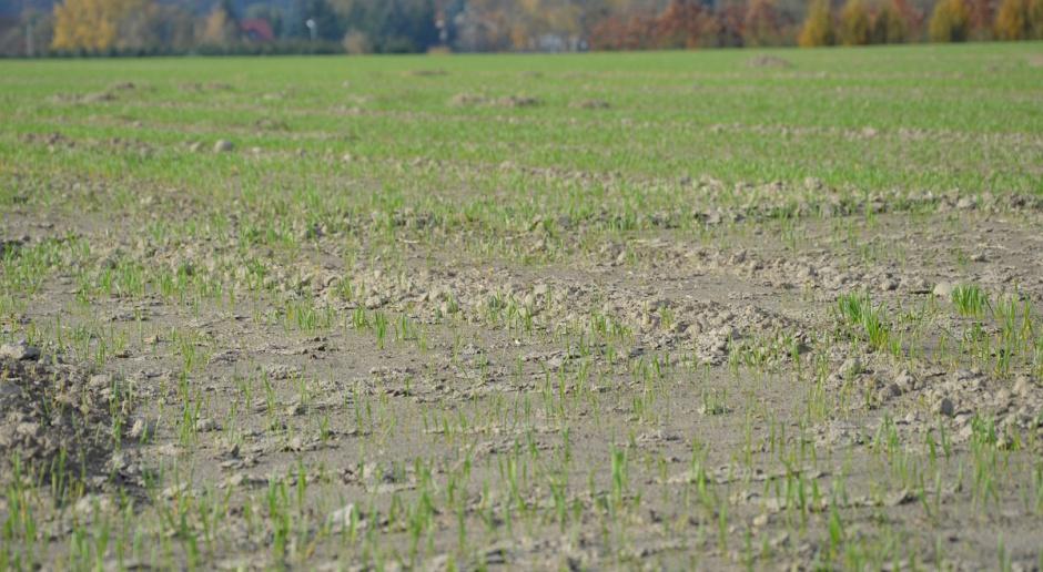 Zwalczanie chwastów w pszenżycie ozimym od 1. liścia zbóż i w starszych fazach