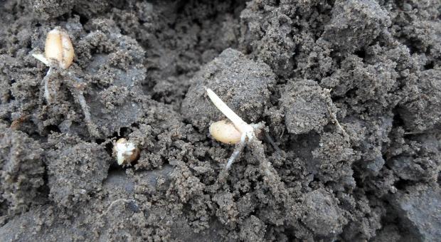 Długie wschody zbóż sianych po terminie