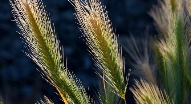 Rolnicy alarmują o wstrzymaniu zaliczek dla młodych rolników. ARiMR dementuje