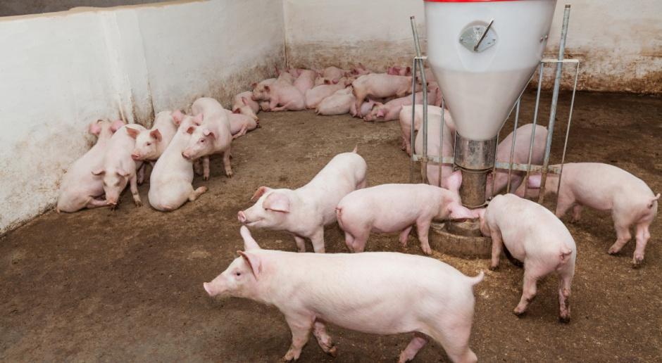 Hiszpańska produkcja i eksport wieprzowiny na rekordowym poziomie