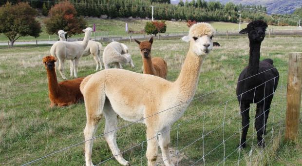 Gruźlica u alpak – uwaga na zwierzęta importowane z UK
