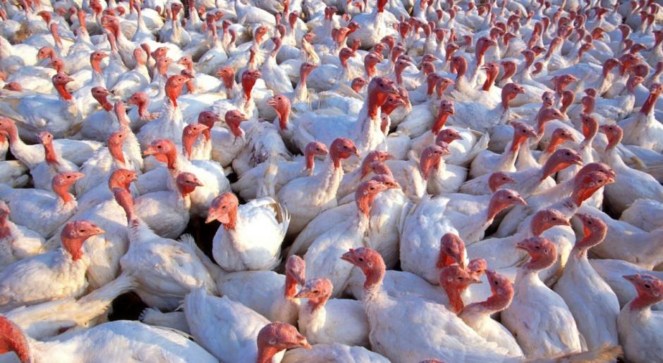 Holandia: Ptasia grypa atakuje