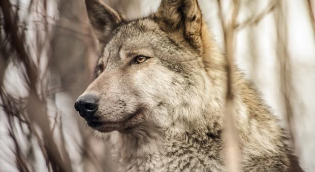 Czy wilki mogą przenosić ASF?
