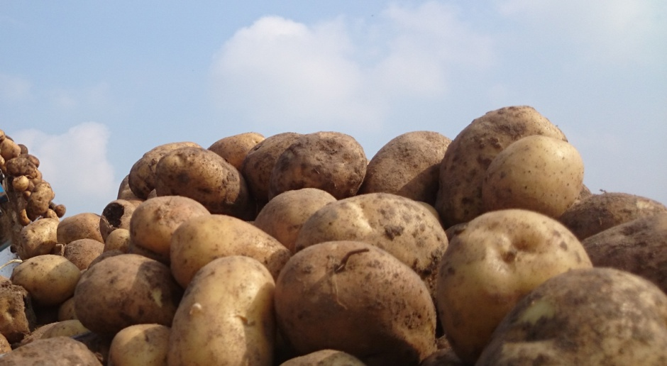 Plon ziemniaków jadalnych wg badań COBORU