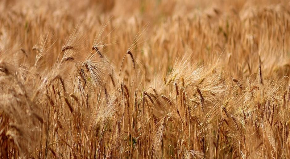 Ukraina zintensyfikowała import żyta