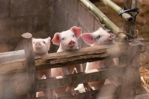 Wszyscy boją się mięsa ze stref ASF