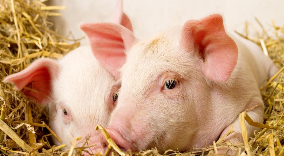 UE: Stabilizacja cen świń rzeźnych