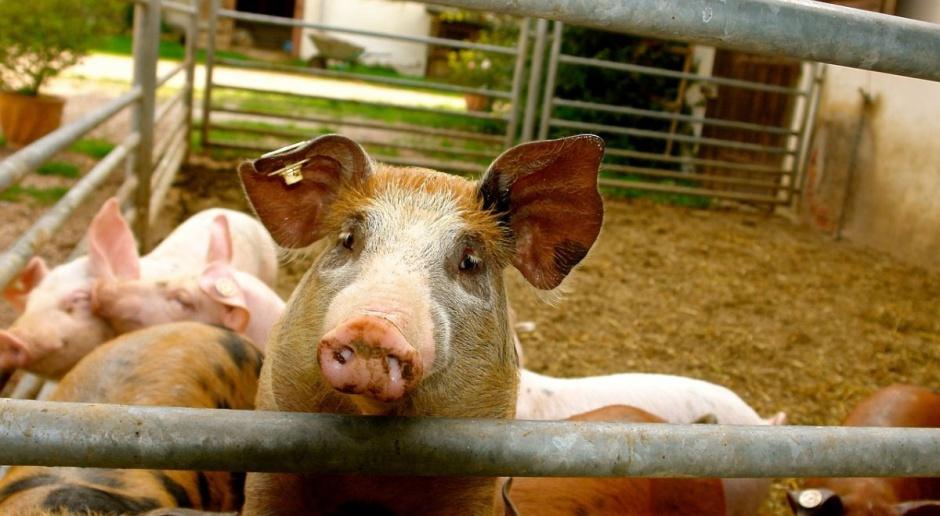 Jak przedstawia się struktura produkcji świń w kraju?