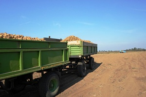 Wysoki plon ziemniaków skrobiowych, ponadprzeciętna zawartość skrobi