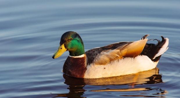 Szczecin: U dzikich ptaków wykryto wirus ptasiej grypy