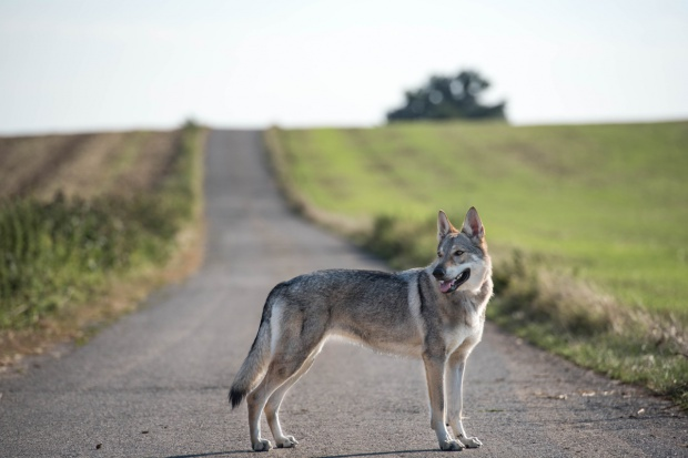 Lubuskie: Kolejne tablice ostrzegające kierowców przed wbiegającymi na jezdnię wilkami