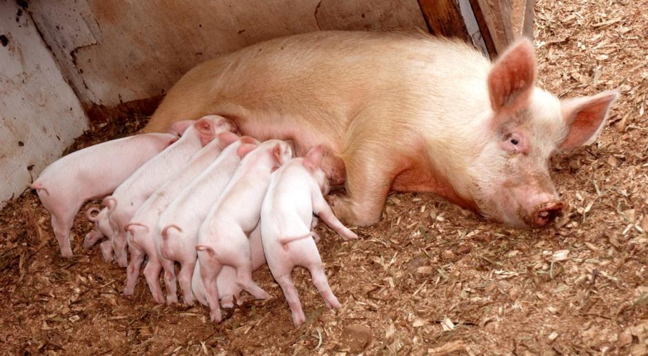 Dania: Spadek pogłowia świń