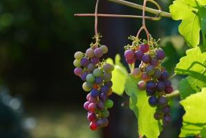 W piątek w Zaborze I Święto Lubuskiego Młodego Wina