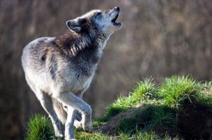 Warmińsko-mazurskie: Rolnicy dostali fladry do ochrony stad przed wilkami