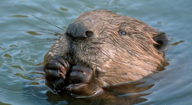 Warmińsko-mazurskie: Zgoda na odstrzał ponad 1,7 tys. bobrów