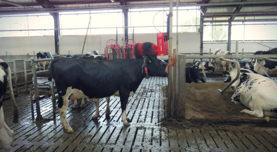 Ardanowski: Nielegalny ubój bydła - to przypadek incydentalny