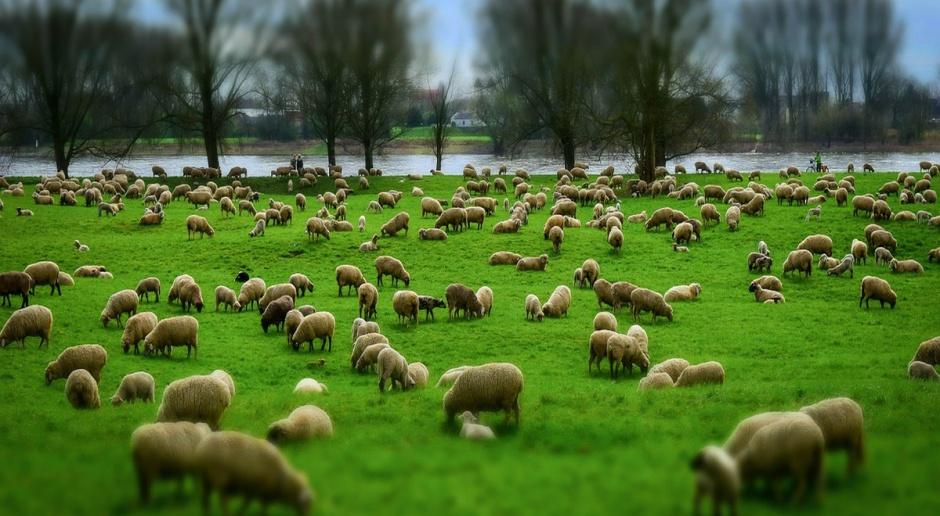 W UE spadkowa tendencja cen jagniąt trwa dotychczas