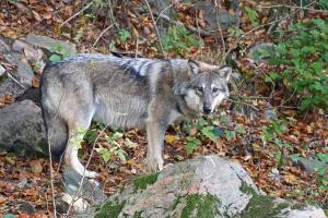 Hiszpańscy rolnicy też mają problem z wilkami. Jak pomaga im państwo?