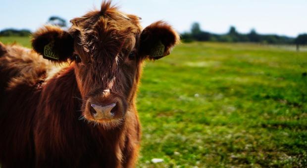 177 krów porzuconych na drodze koło Sanoka