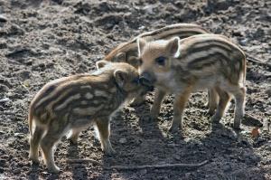 GIW: Kolejne 3 przypadki afrykańskiego pomoru świń u dzików