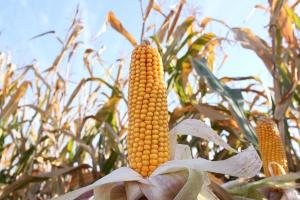 Kukurydza na ziarno – wysokie plonowanie w doświadczeniach COBORU