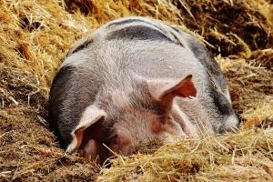 Powtórne szukanie wirusa ASF u świń tajemnicą dla weterynarzy