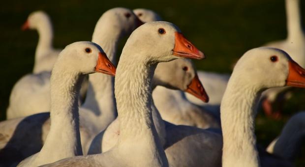 Izrael i Węgry: Nowe ogniska ptasiej grypy