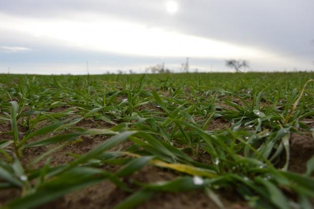 Wiosna w grudniu i przezimowanie zbóż