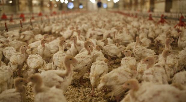 Lubuskie: Na fermie w Gliniku trzeba uśpić i zutylizować 37 tys. indyków