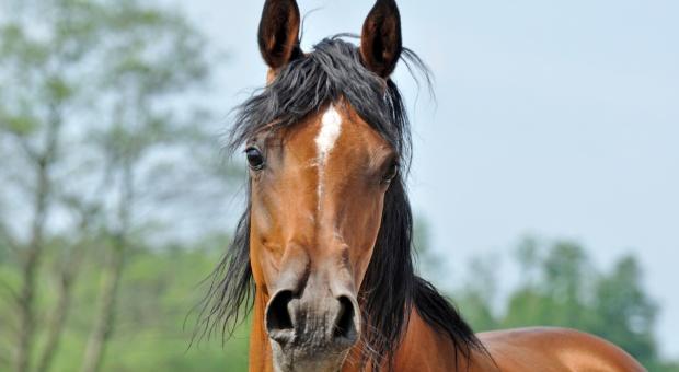 Posłanki PO: tegoroczna aukcja Pride of Poland może doprowadzać do upadku hodowli konia arabskiego