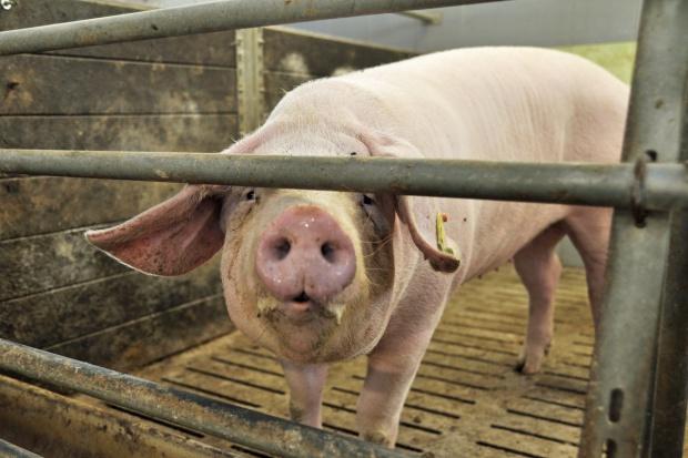 Co nowy rok przyniesie producentom świń?