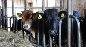 Ceny skupu bydła utrzymują się na wysokim poziomie