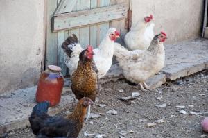 Trzecie ognisko ptasiej grypy w Lubuskiem potwierdzone