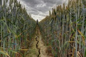 Ponad 2 mld zł strat po suszy i niespełna miliard zł na pomoc